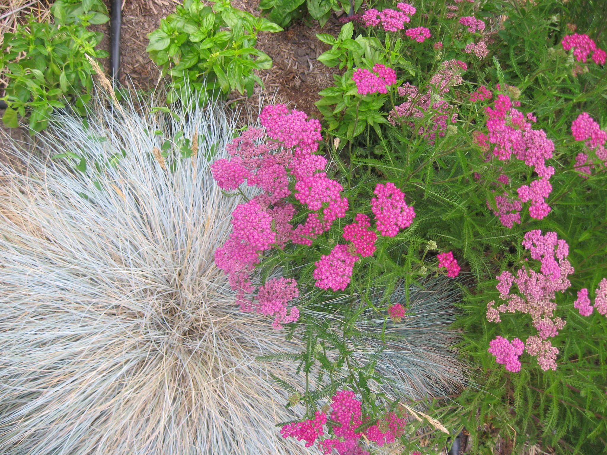 "Festuca idahoensis ""Siskiyou Blue' with Achillea millefolium 'Salmon Pink'"
