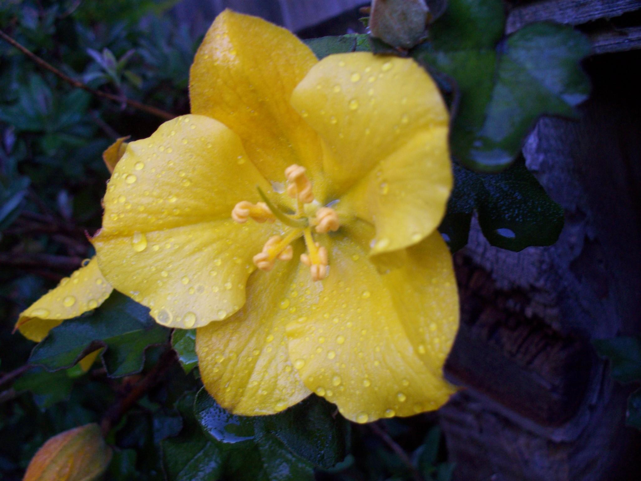 Fremontodendron spp. - flannelbush