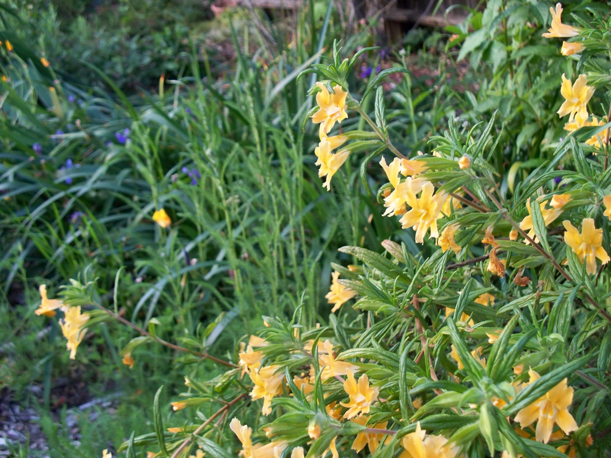 Mimulus aurantiacus – sticky monkeyflower